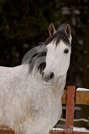 Portrait of dapple-gray horse in winter time