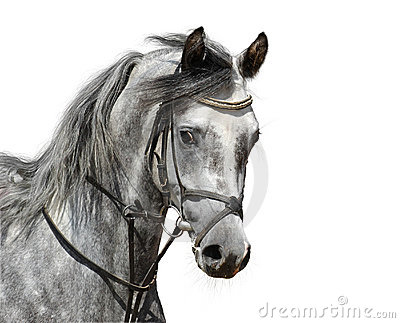 Portrait of dapple-grey arabian horse