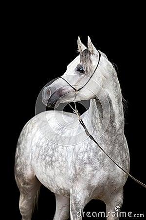 portrait de cheval blanc sur le fond noir photo stock image 43575475. Black Bedroom Furniture Sets. Home Design Ideas