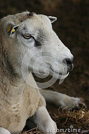 Portrait de moutons