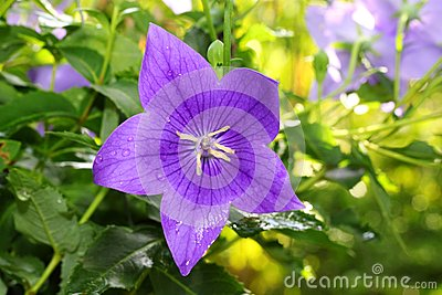 The portrait of deep purple of Balloon flower