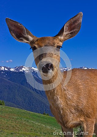 Portrait of deer in front of mountains