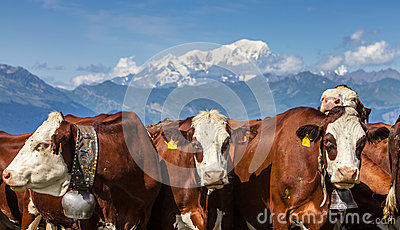 Portrait der Kühe