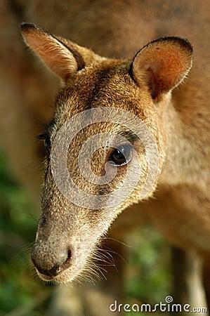 Portrait des Kängurus