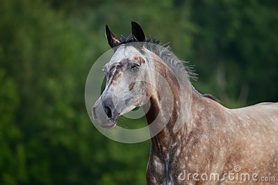 Portrait des rot-grauen arabischen Pferds in der Bewegung