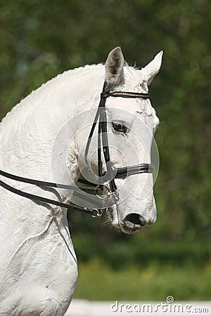 Portrait des weißen Pferds