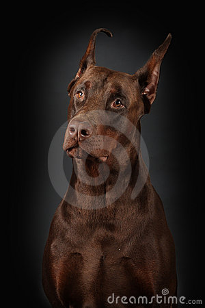 Portrait of Dobermann on black background