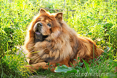 Portrait of dog chow-chow