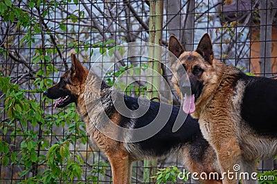 Portrait of Dog Germna Sheperd