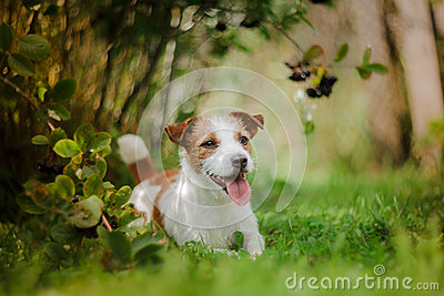 Portrait of a dog. Jack Russell Terrier