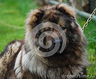 Portrait of Dog Sheperd