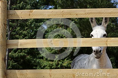 Portrait of a donkey behind the fence