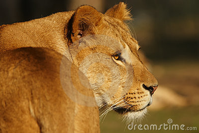 Portrait of a dreamy lioness