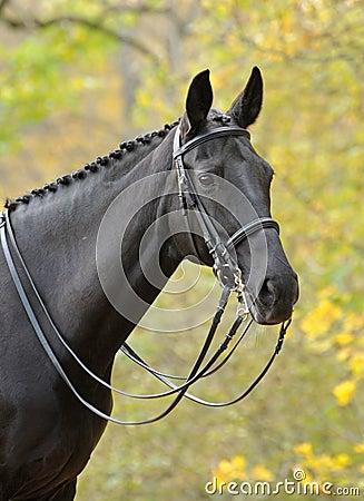 Portrait of dressage black horse