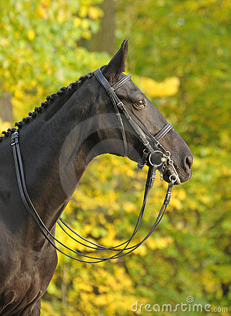Portrait of dressage black horse