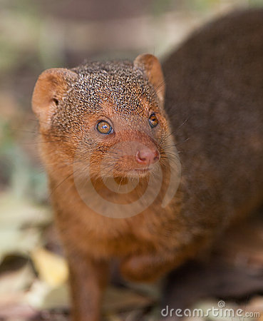 Portrait of the Dwarf Mongoose