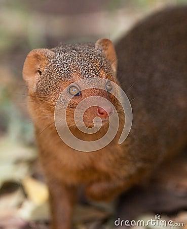Portrait of the Dwarf Mongoose