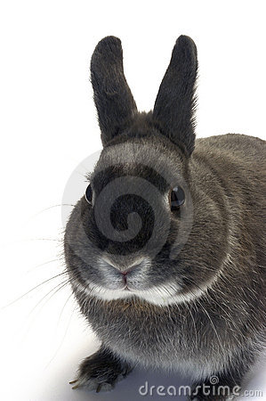 Portrait of a dwarf rabbit