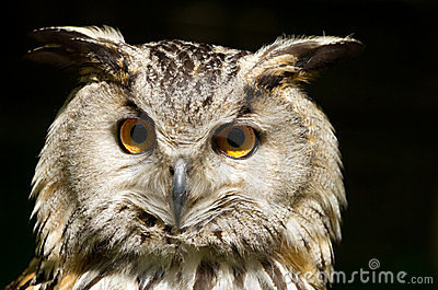 Portrait of eagle-owl