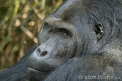 Portrait of an Eastern Lowland Gorilla