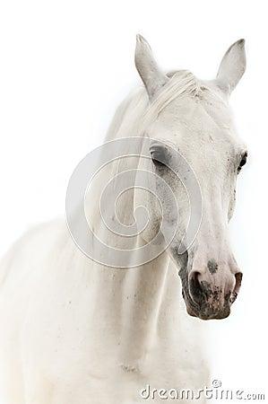 Portrait eines weißen Pferds