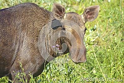 Portrait of elk