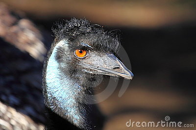 Portrait of an Emu