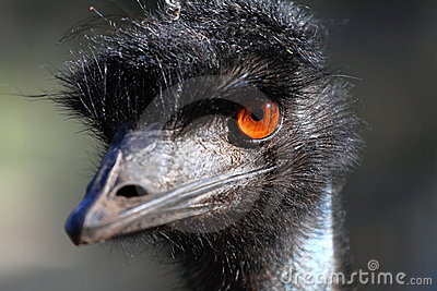 Portrait of an Emu in Australia