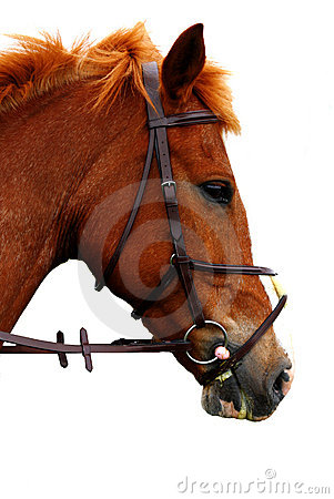 Portrait of english brown horse