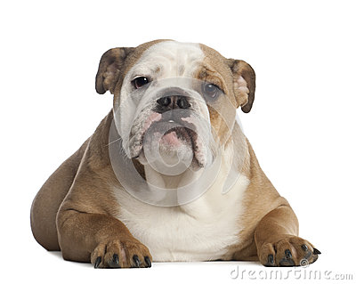 Portrait of English Bulldog, 7 months old