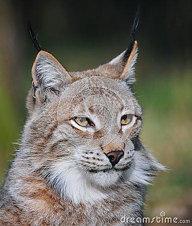 Portrait of an Eurasian lynx (Lynx lynx)