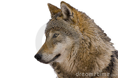 Portrait of an European grey wolf (Canis lupus lu