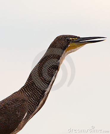Portrait of the Fasciated Tiger Heron