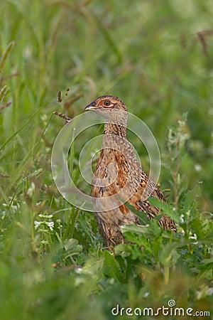 Portrait of a female pheasant.