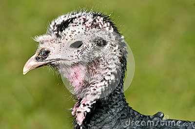 Portrait female turkey