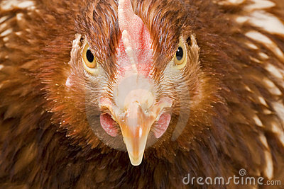 Portrait of a fierce chicken