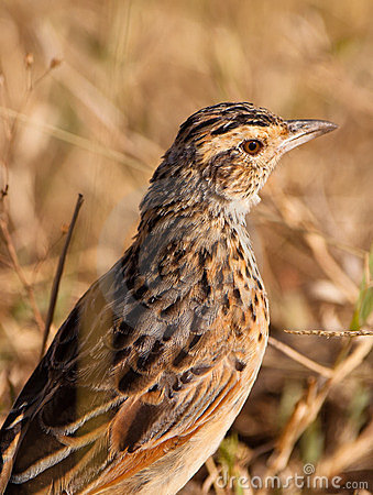 Portrait of the Flappet Lark