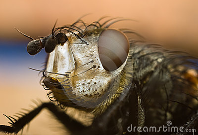 Portrait of the fly