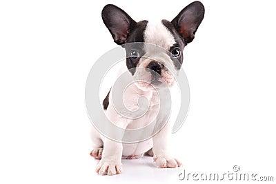 Portrait of french bulldog puppy