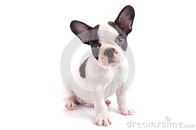 Portrait of french bulldog puppy