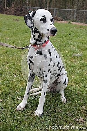 Dalmatian dog sat on grass portrait