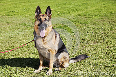 German Shepherd Dog Portrait at the Park