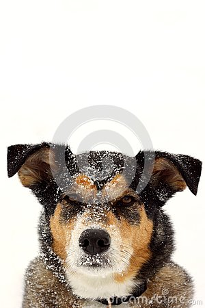 Portrait of German Shepherd Dog in Snow