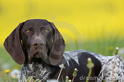 Portrait of German Short Hair Pointer