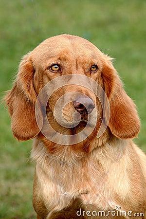 Portrait of German Spaniel