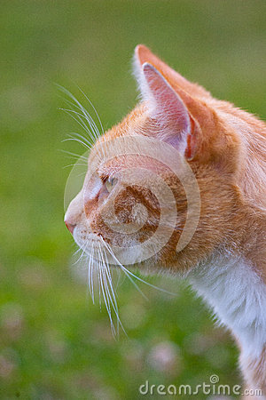 Portrait of a ginger cat