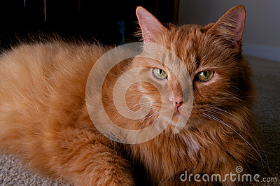 Portrait of ginger cat looking at viewer