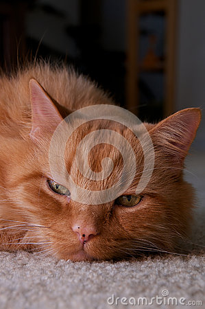 Portrait of ginger cat looking at viewer resting head