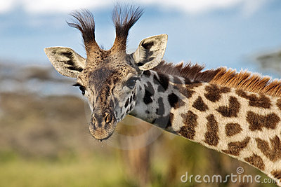 Portrait of a giraffe in the African savannah