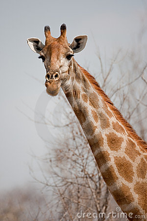 Portrait of a giraffe in southern Africa.